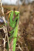 Portrait of a Mantis religiosa