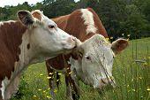 Cow Gossip54