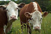 Cow Gossip56
