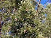 Fur-Tree #3