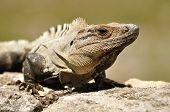 Close-up Of An Iguana