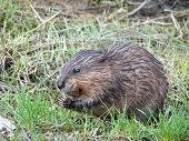picture of muskrat  - A young muskrat feeding on new spring grass
