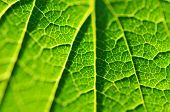 Close-up Of Leaf, Green Leaf In The Garden. Macro Of Green Leaf In Forest. Texture Of Leaf. Currant  poster