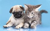 picture of coon dog  - kitten Maine Coon and puppy pug - JPG