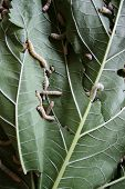 picture of cocoon tree  - Close up of silkworms eating a mulberry leaf