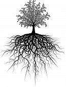 Постер, плакат: Корень дерева