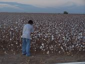 Pickin' Cotton