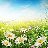 Постер, плакат: Поле цветка в Солнечный день