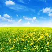 pic of buttercup  - Spring flower field and blue sky - JPG