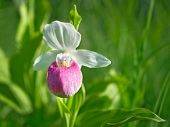 Showy Ladys-slipper - Cypripedium Reginae - Minnesota State Flower poster