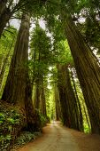 stock photo of redwood forest  - A narrow road through the Redwood Forest - JPG