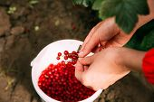 Woman Drops A Redcurrant Red Currant Berries In A Bucket During Gathering Of Berries. Picking Berrie poster