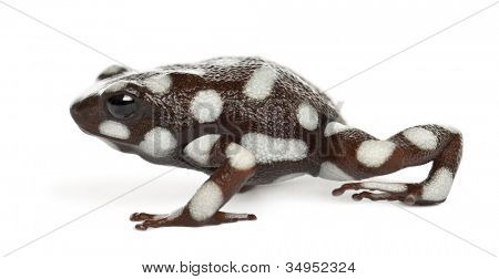 poster of Mara?�±??n Poison Frog or Rana Venenosa, Ranitomeya mysteriosus, against white background
