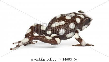 poster of Mara???????±??n Poison Frog or Rana Venenosa, Ranitomeya mysteriosus, against white background