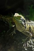 foto of tuatara  - One of the world