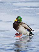 Drake Mallard Slipping on Ice