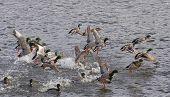 Mallard Flock taking flight