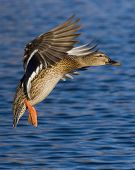 picture of duck pond  - Hen Mallard about to land with feet dwon and wings to it - JPG