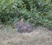 Cottontail Rabbit Sitting In The Grass