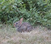 Sylvilagus sentado en la hierba