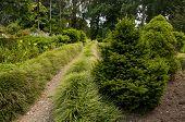 Coniferous trees in botanical garden