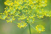 flores de endro
