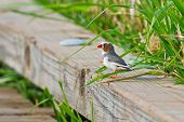 Zebra Finch Resting On Board