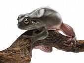 Australian Green Tree Frog, simply Green Tree Frog in Australia, White's Tree Frog, or Dumpy Tree Frog, Litoria caerulea, against white background