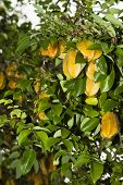 Karambola Or Star Fruit Tree