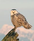stock photo of hedwig  - A young snowy owl is standing on a tree - JPG
