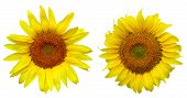 Two Different Sunflower Over White Background