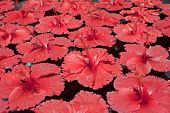 picture of rose sharon  - Lots of red hibiscus flowers floating on a water surface - JPG