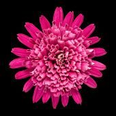Violet Chrysanthemum Flower Isolated On Black