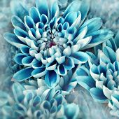 pic of zinnias  - vibrant blue flowers zinnias photo illustration with petals - JPG