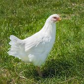 White Plymouth Rock Hen