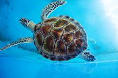 stock photo of turtle shell  - Adult turtle swims in pool of Sea Turtles Conservation Research Project in Bentota south Sri Lanka - JPG