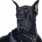 foto of gentle giant  - sketch of close up portrait black dog Great Dane breed - JPG