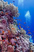 colorful coral reef with soft and hard corals with exotic fishes at the bottom of tropical sea