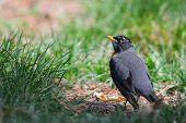 American Robin (turdus Migratorious)