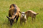 picture of feedlot  - mother goat with two kids on a meadow - JPG