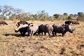 Rhino Herd Standing On Grass Plain
