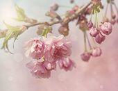 Árbol de flor de cerezo rosa