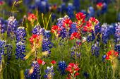 image of bluebonnets  - Indian paintbrushes and bluebonnets in late afternoon light - JPG