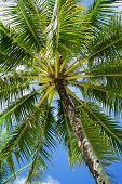 stock photo of langkawi  - Low angle view of a palm tree on Langkawi island in Malaysia - JPG