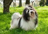 Süße Havaneser Hund In einem schönen sonnigen grasigen Feld