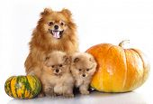 Mom and the kids,  miniature  spitz