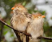 Pair of Guira cuckoo birds