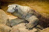 picture of komodo dragon  - Portrait of large Komodo dragon - JPG