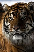 stock photo of foodchain  - Close up of a tigers face with blurred background - JPG
