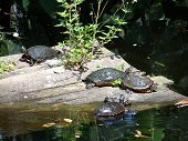 Turtles Resting On Floating Wooden Raft